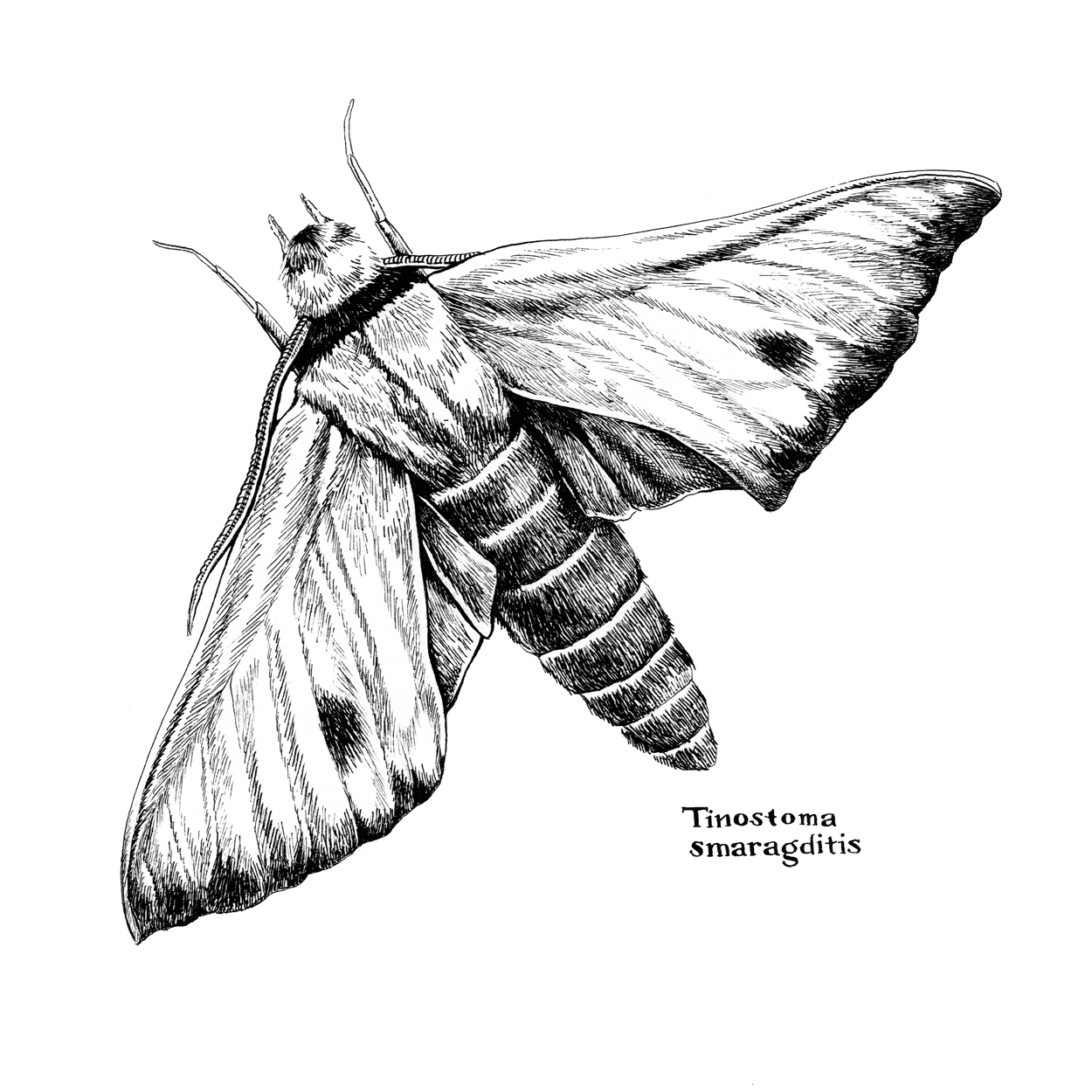 Fabulous Green Sphinx Moth