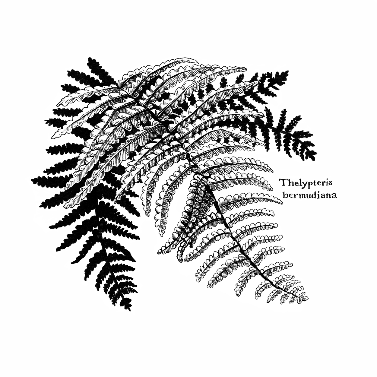 Bermuda Shield Fern