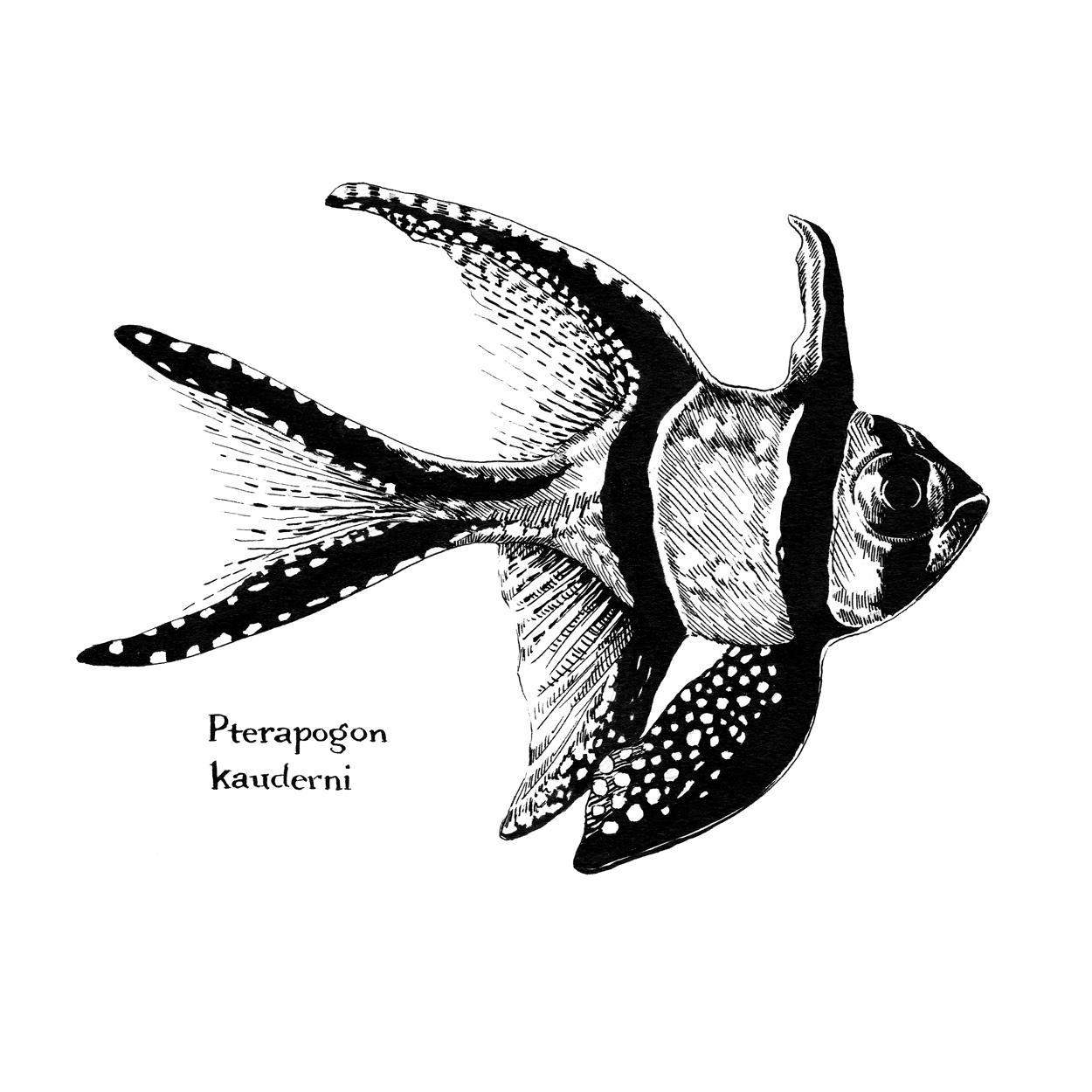 Pterapogon-kauderni_Fish.jpg