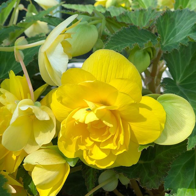 I mean, C'MON! Look at the yellow on these begonias grown by @alicemaggin 😍😍😍
