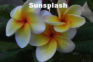 Darryl Exelby - sunsplash.png