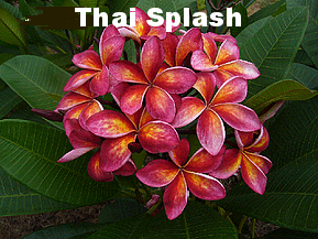 Darryl Exelby - thai splash.png