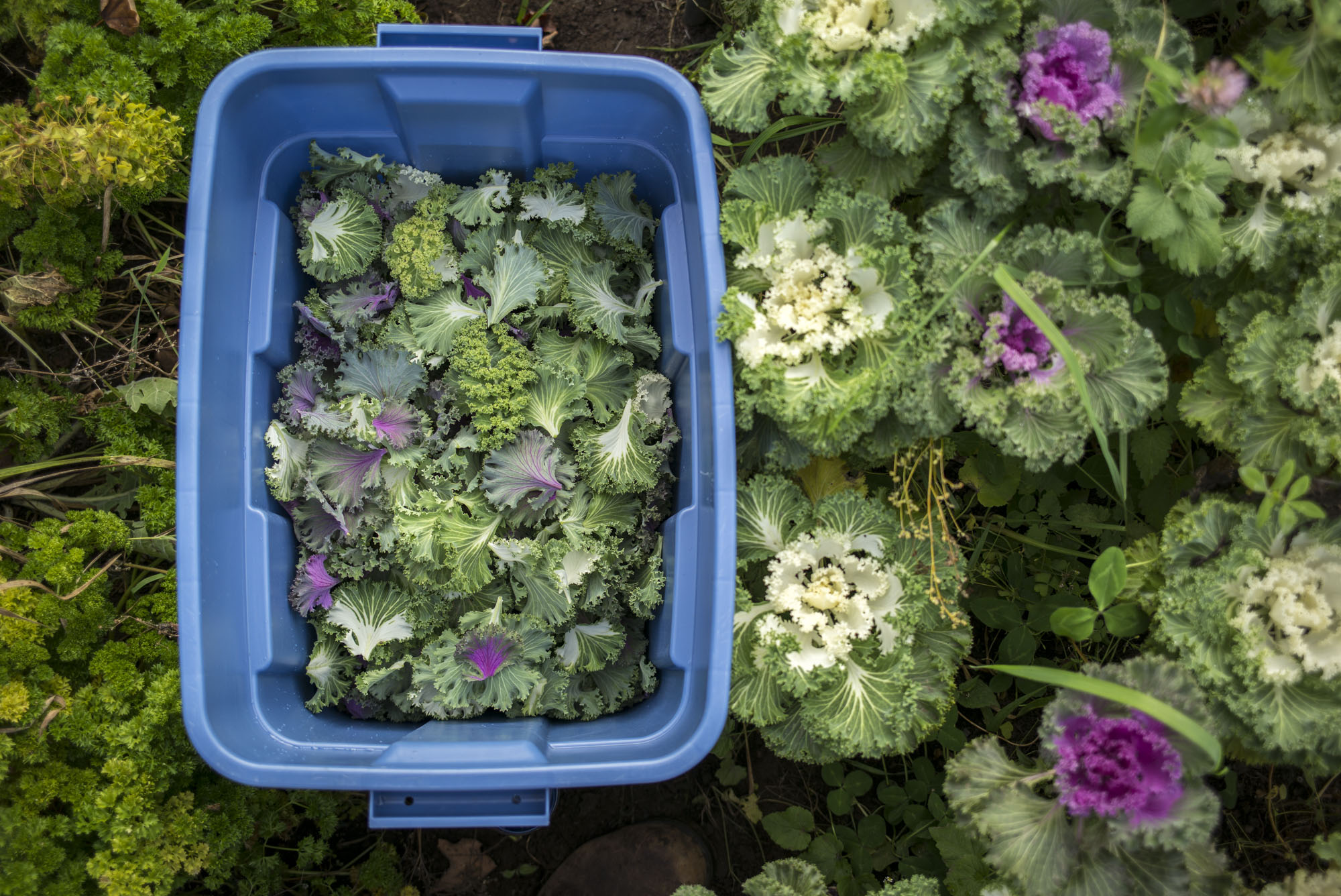 Greens are collected in tubs, which are refrigerated, before salad packaging begins for their buyers.