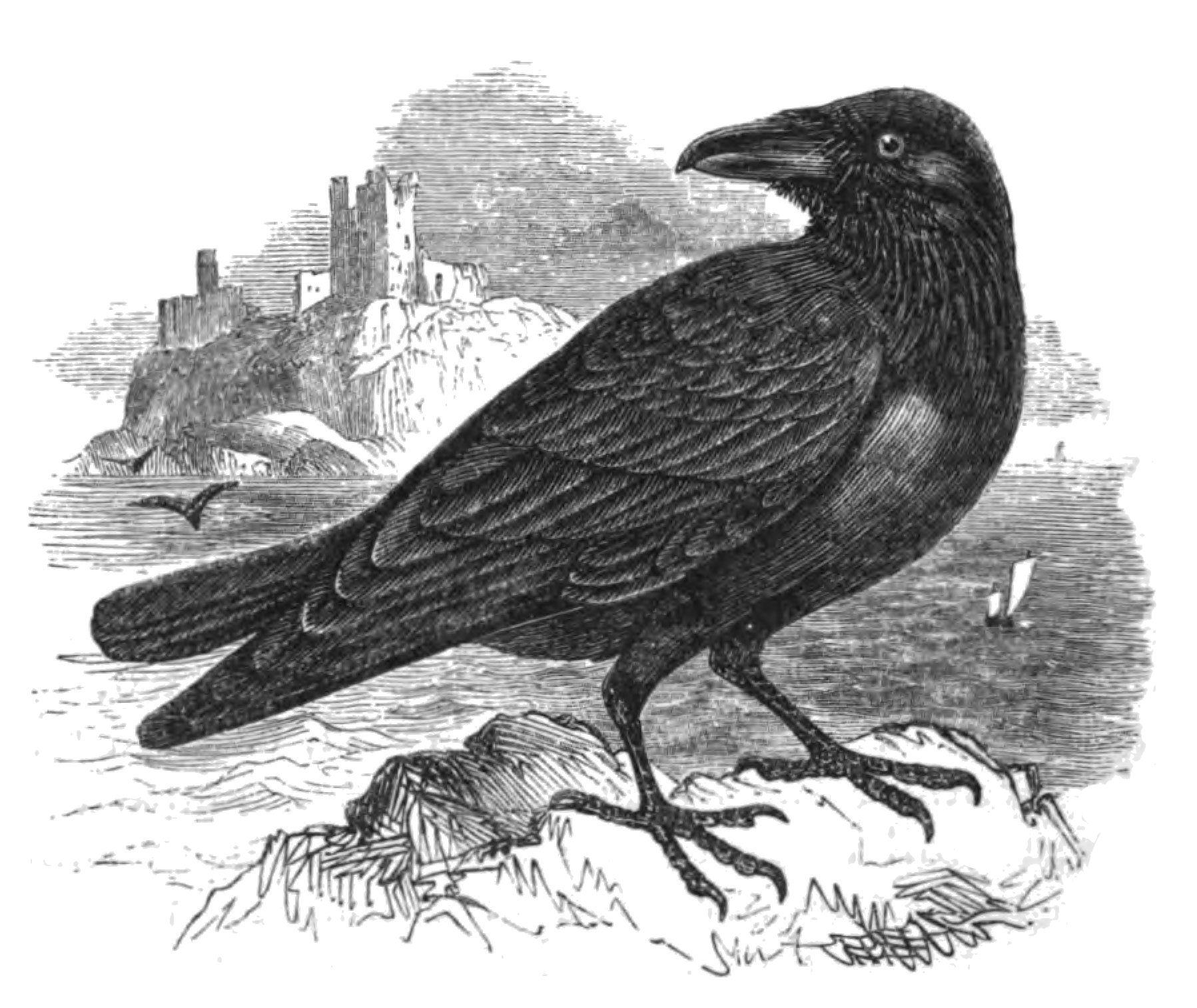 Natural_History,_Birds_-_Raven.jpg