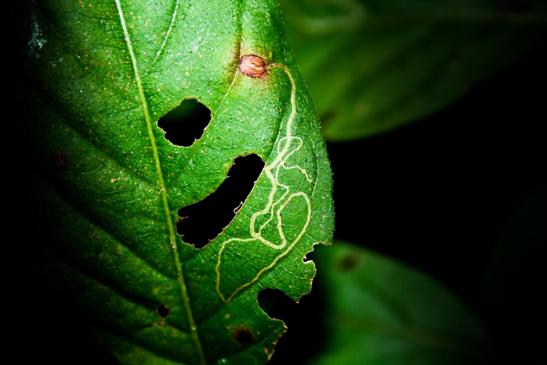 Leaf Miner Larva Trail