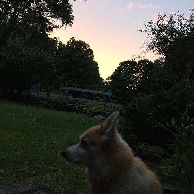 Corgi sunset #kentct #kent #kenthollow #kentconnecticut #corgi #pembrokecorgi #pembrokewelshcorgi #toroginger #kenthollowroad