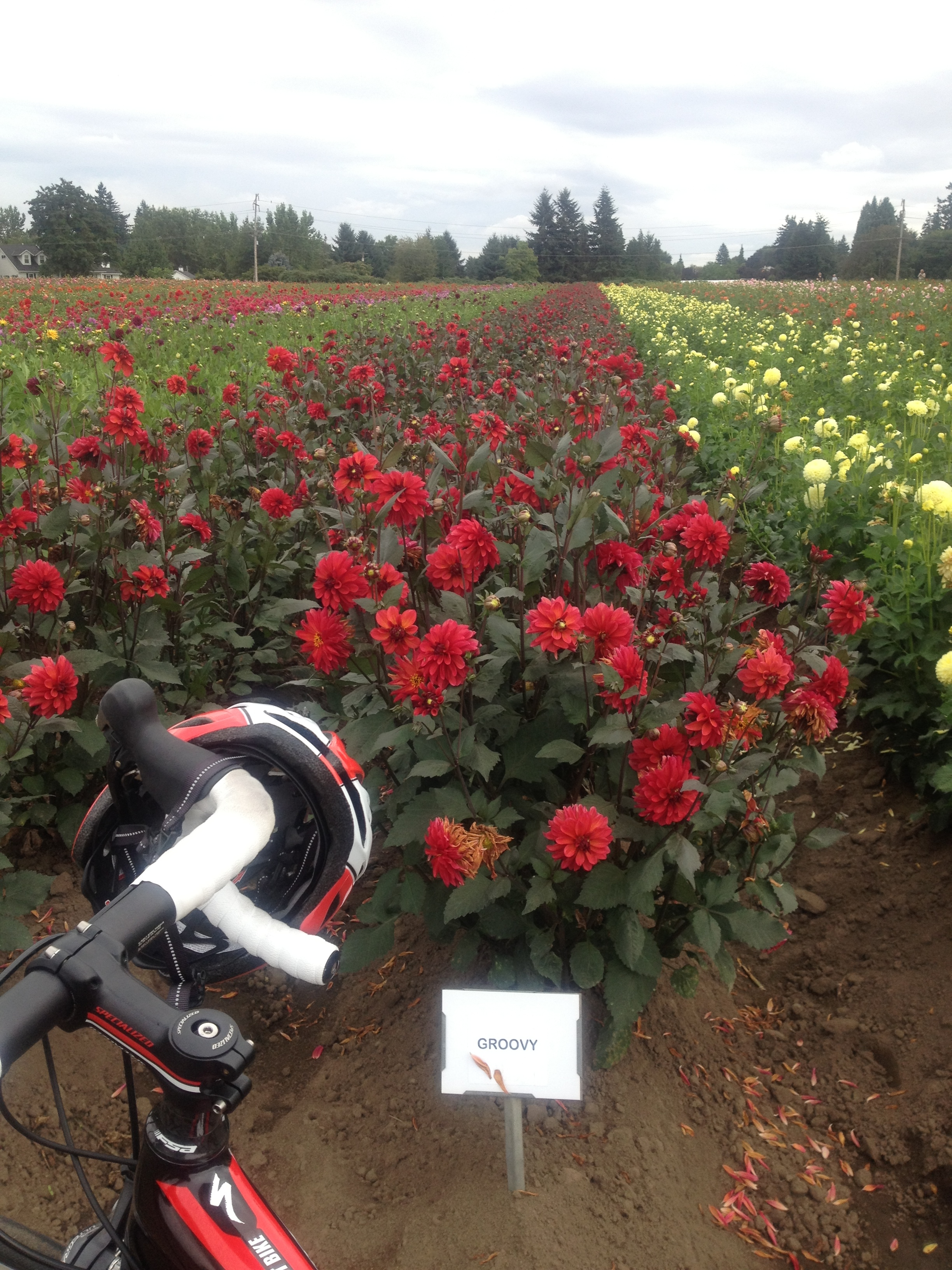 Dahlia Farm, near the Willamette Valley Scenic Bikeway