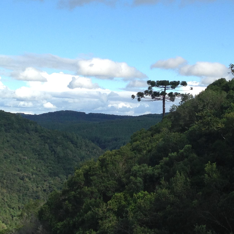 Araucaria pine, Serra Gaúcha