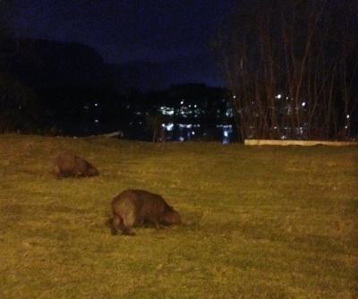 Some Ewok-sized capybaras, grazing quietly in Barra de Tijuca.