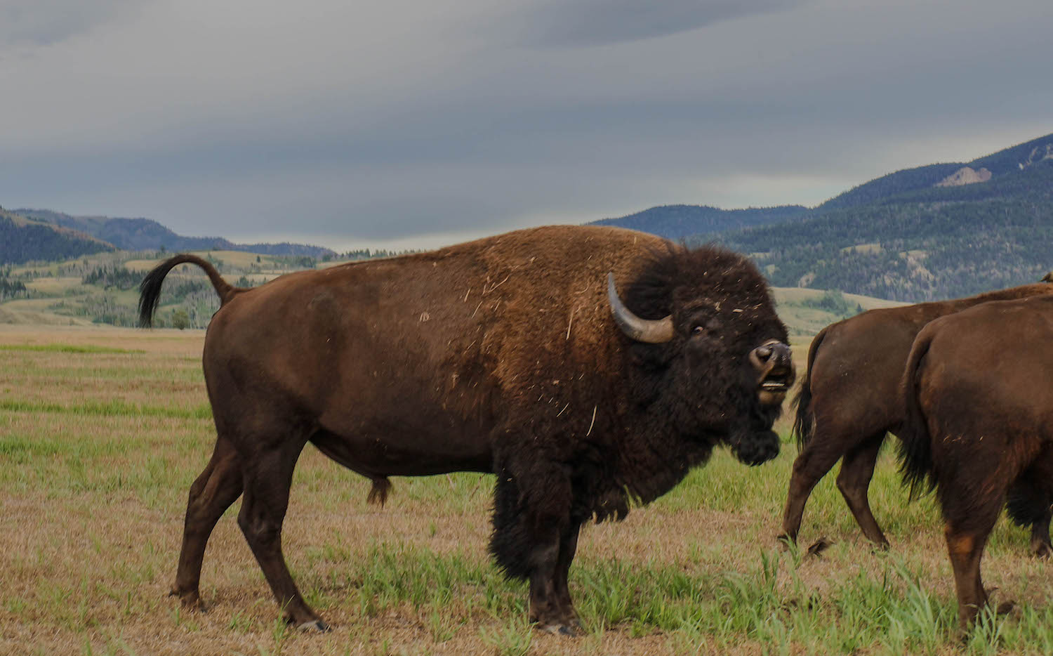 These incredible creatures were just meters away from us. You're supposed to stay 25 yards away from bison but we felt safe in our car.