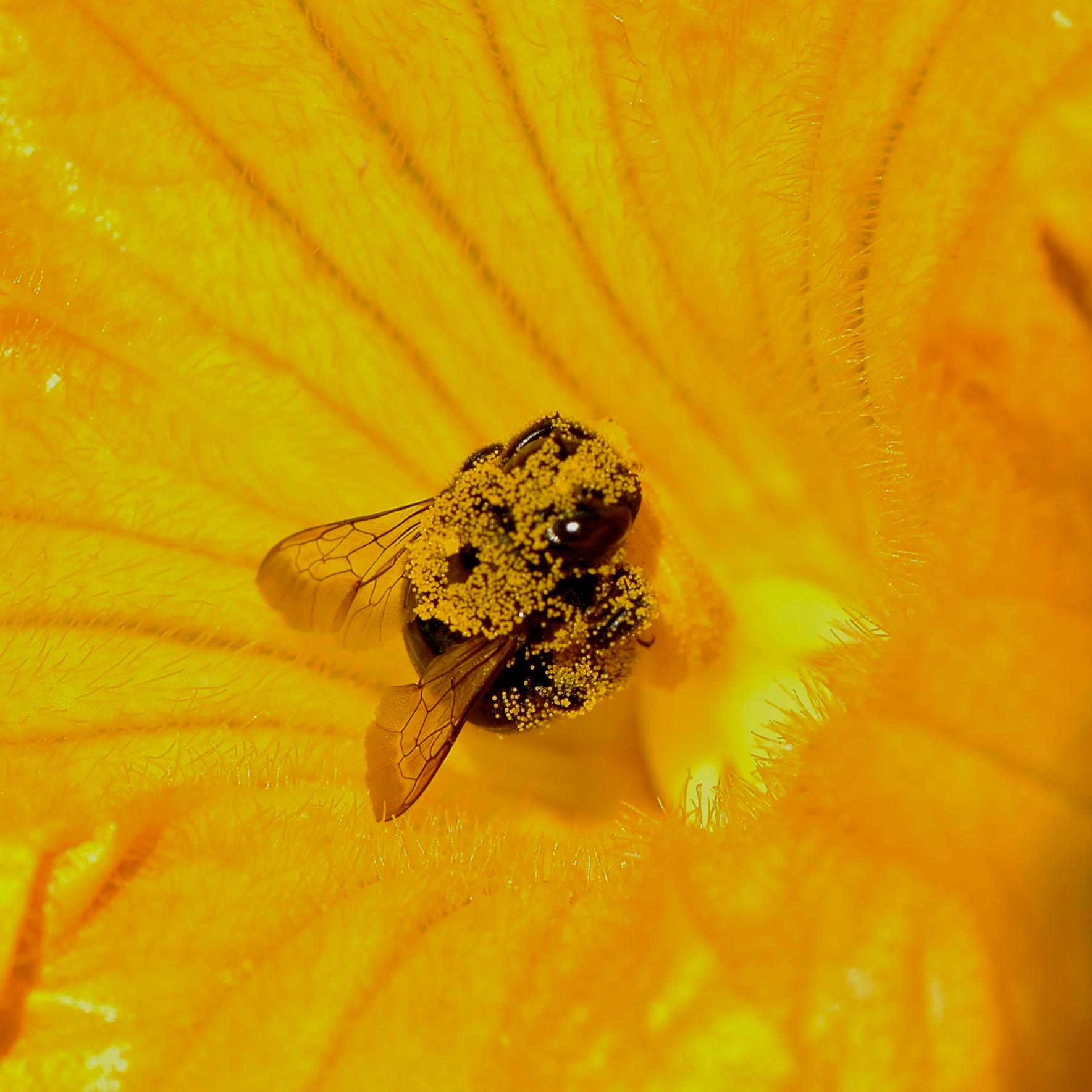 Squash Bee.jpg