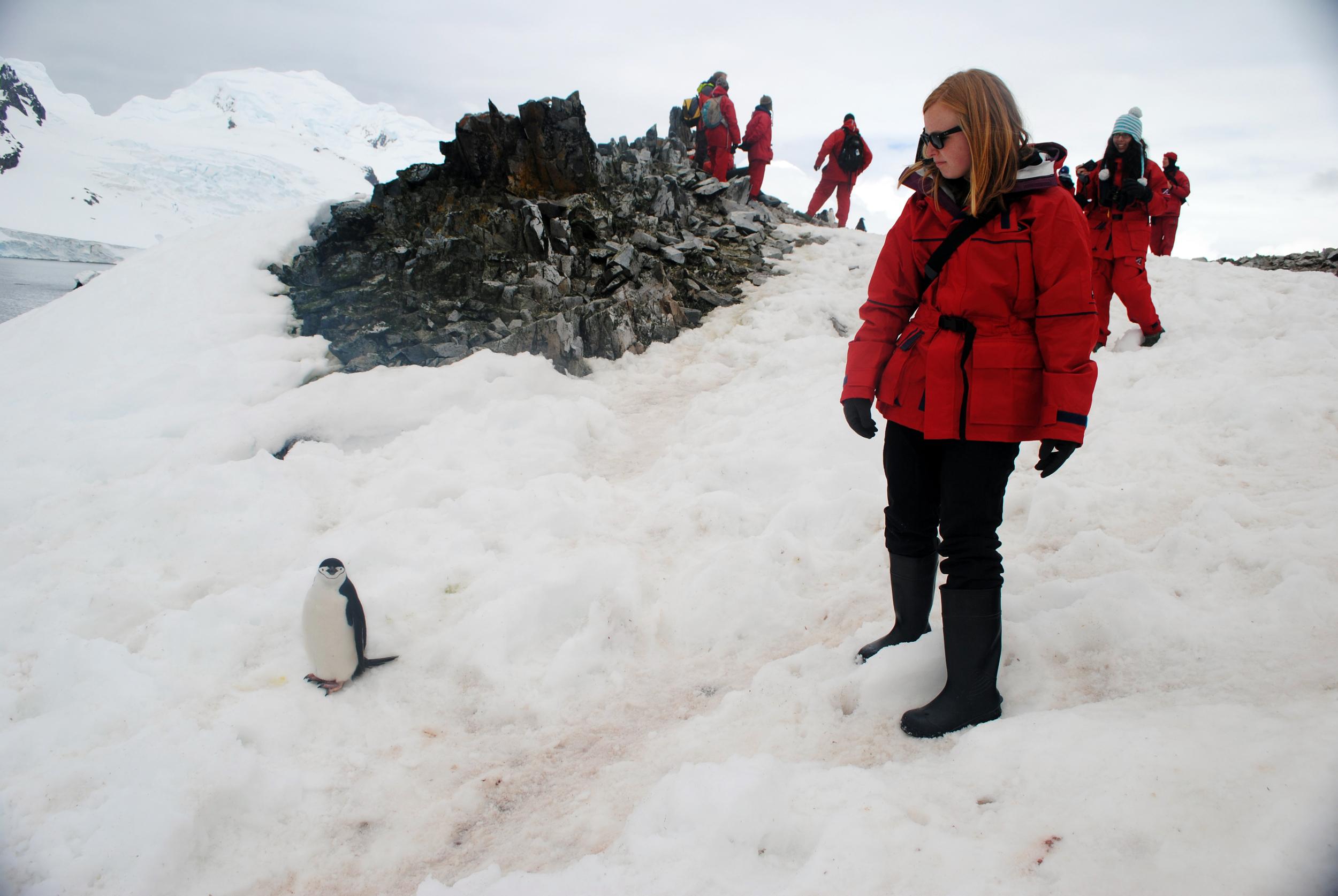 Chinstrap penguin, Half Moon Island, Antarctica - Maggie a la Mode