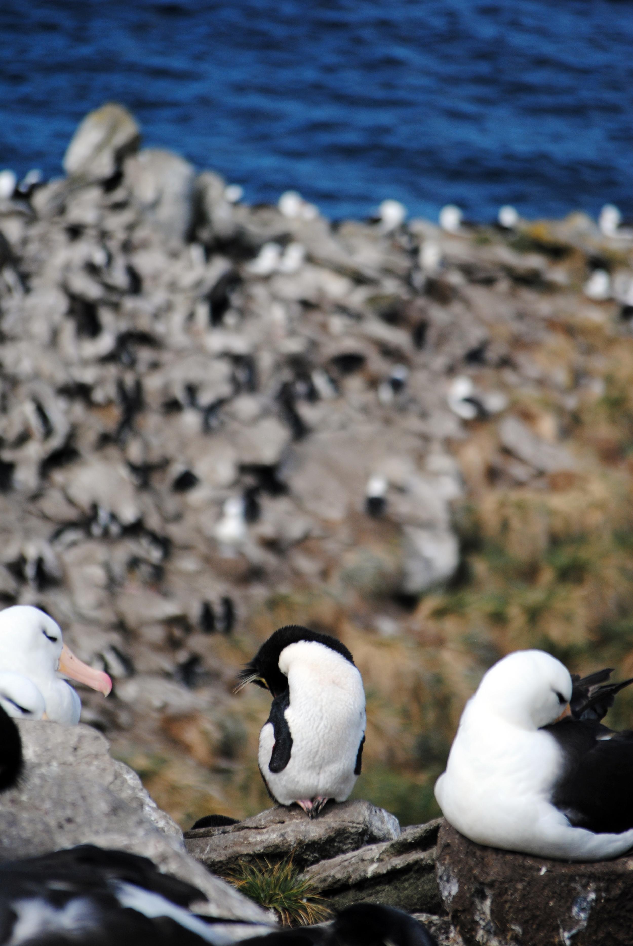 Falkland Islands, Saunders Island, black browed albatross, rockhopper penguin, penguins - Maggie a la Mode