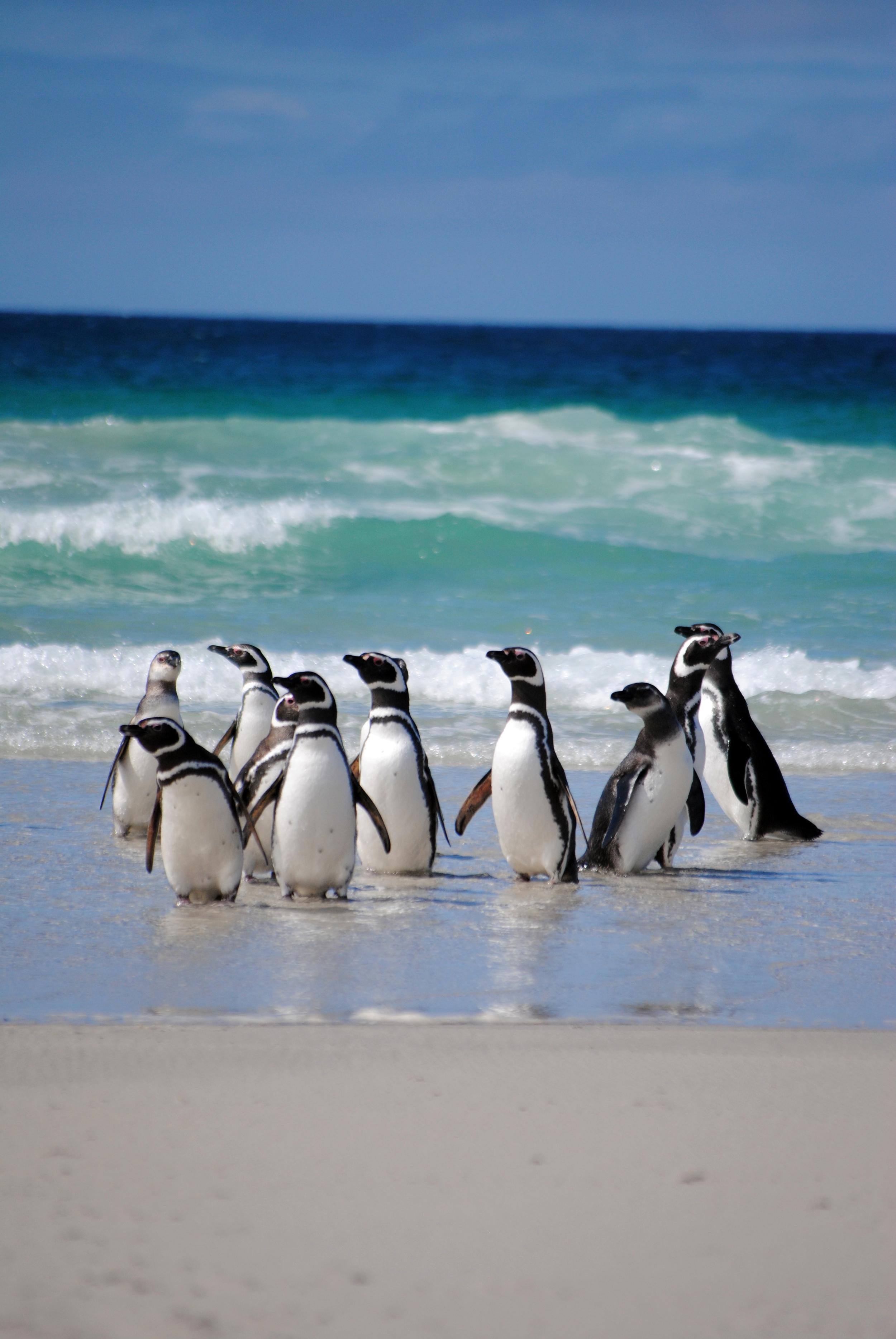 Falkland Islands, Saunders Island - Maggie a la Mode
