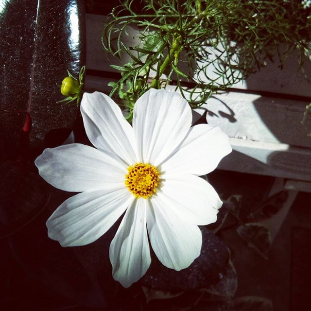 The cosmos are finally blooming on my patio! What a nice surprise to wake up to