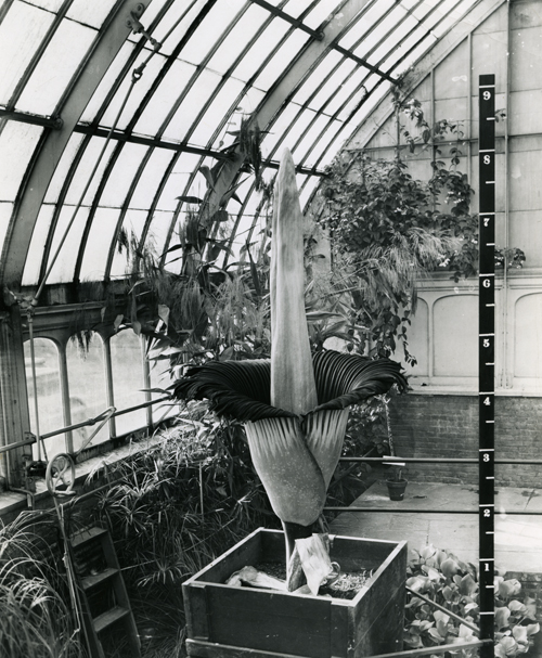 The corpse flower blooming in 1937 at New York Botanical Garden. Courtesy of the LuEsther T. Mertz Library and the New York Botanical Garden