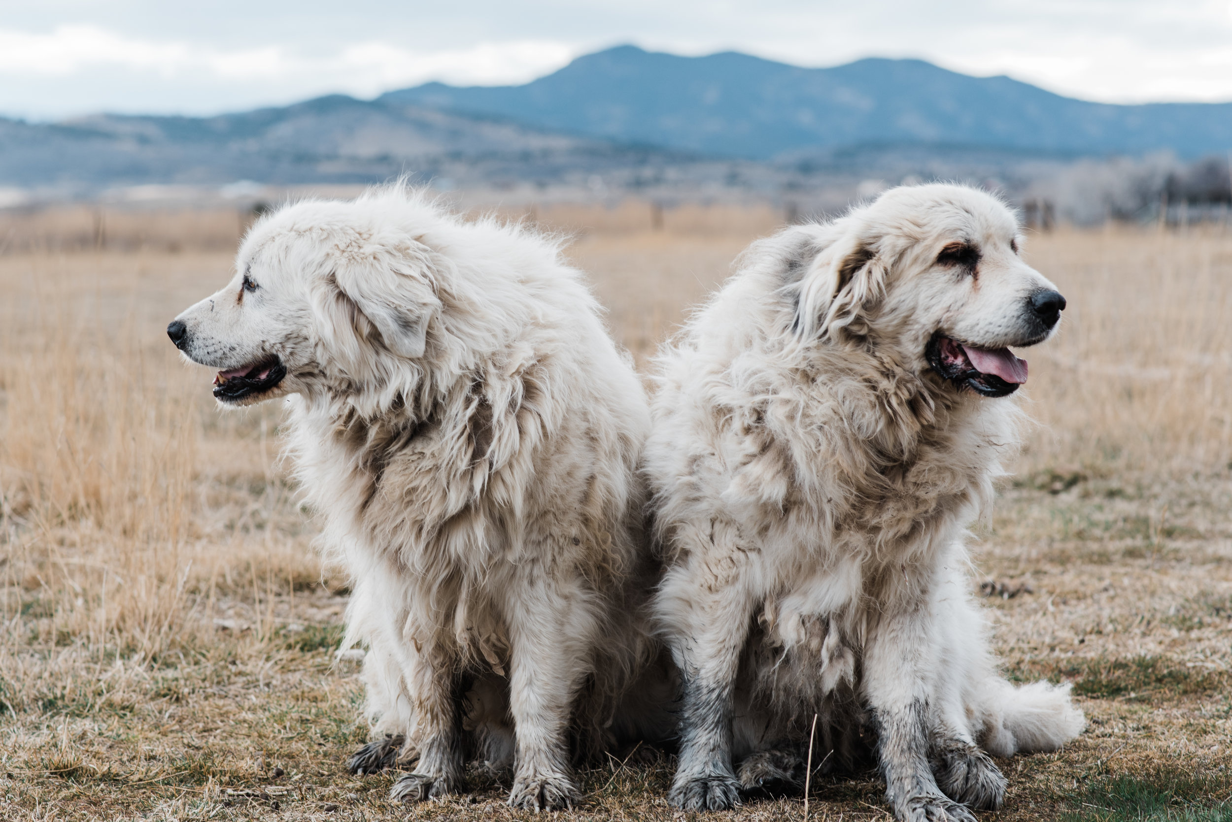 These two are brothers, and Atlas is on the right. Even though he could barely walk he still managed to wallow in some mud when we walked out into the pasture to take photos. I feel like this is a classic sibling shot, both looking the other way and neither looking at the camera.