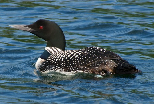 A Great Northern Loon (also known as the Great Northern Diver and the Common Loon)