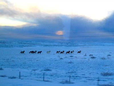 The hardy horses, pure descendants from the Viking times, remain outdoors year round.