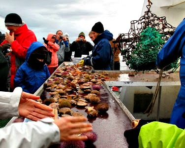 Freshly-trawled scallops and urchins