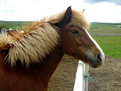Icelandic horses are all of a 1,000 year old pure breed from a Viking era gene pool