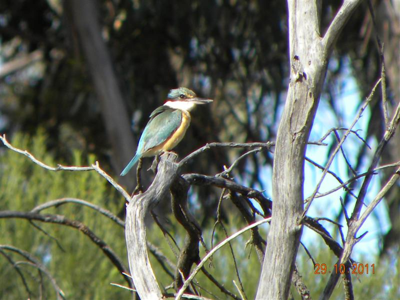 DSCN0971 (Medium) - Sacred Kingfisher.JPG