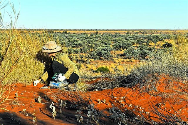 How do we study the impacts of management practices like culling on ground nesting bird species such as the endangered night parrot in Australia? Nest predation experiments. . . . #projectOzScav #scicomm #science #filmmaking #desert #outback #stories #science #ethabuka . . @bushheritageaus