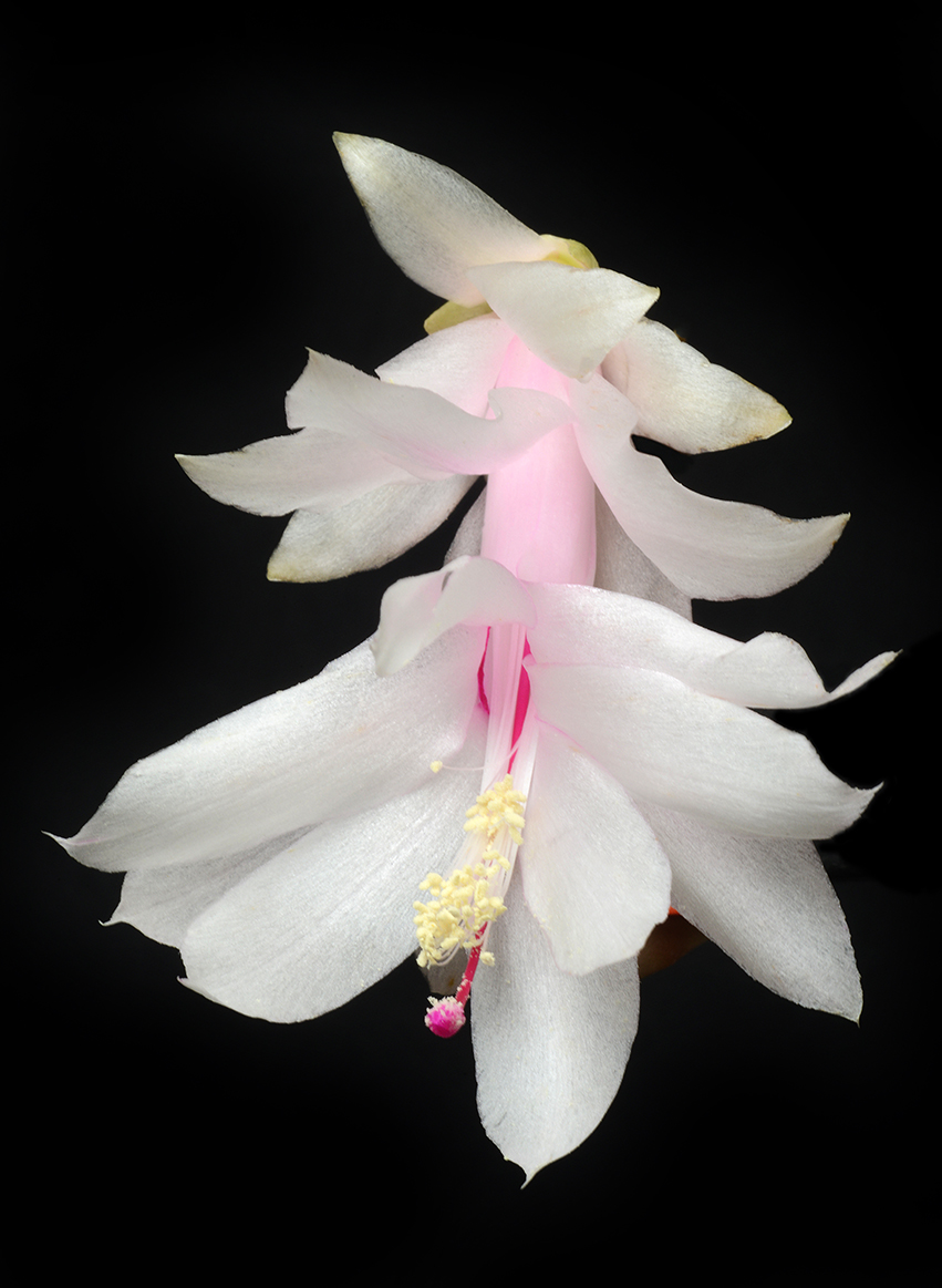 Holiday cactus