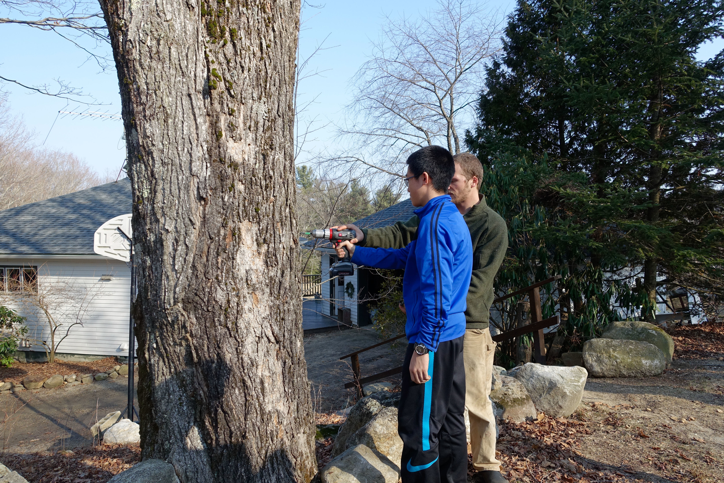 Tapping a sugar maple tree