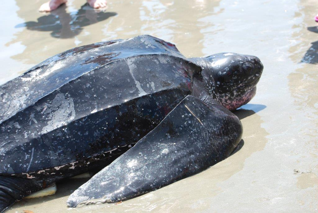 Leatherback heading back to sea