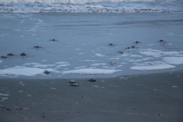 hatchlings head to sea 3 7-16.jpeg