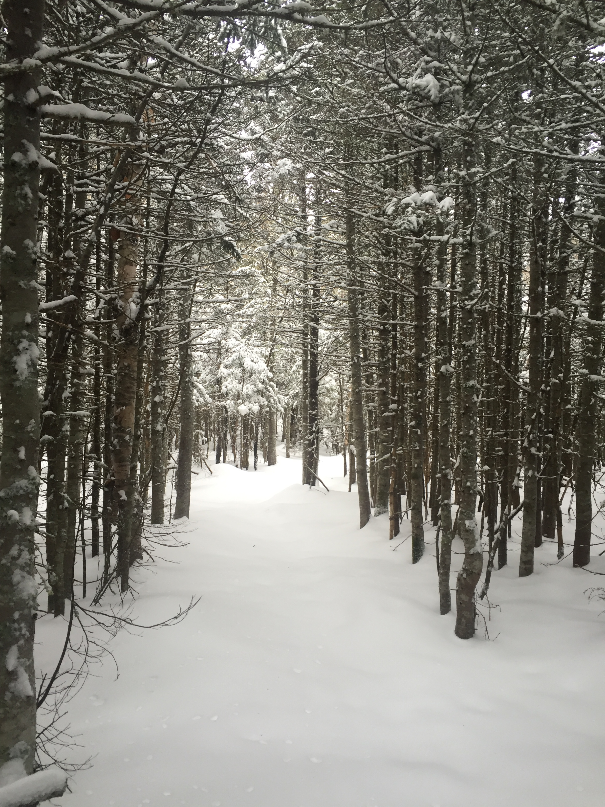 Love the wintery feel of breaking trail in the evergreen corridors.