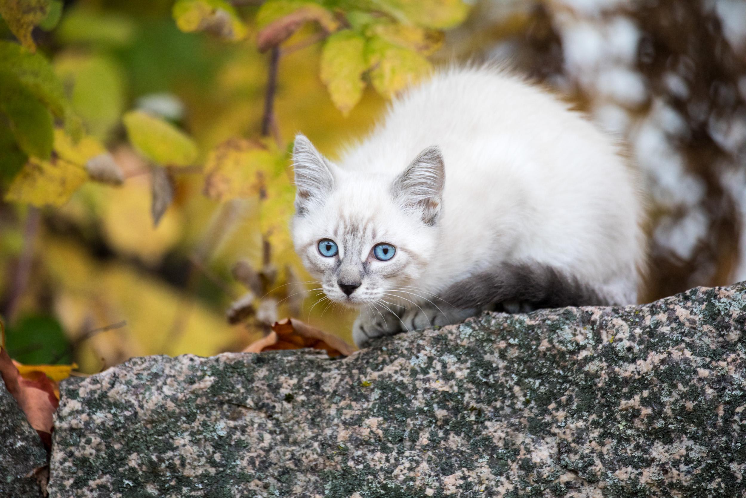 white lynx cat.jpg