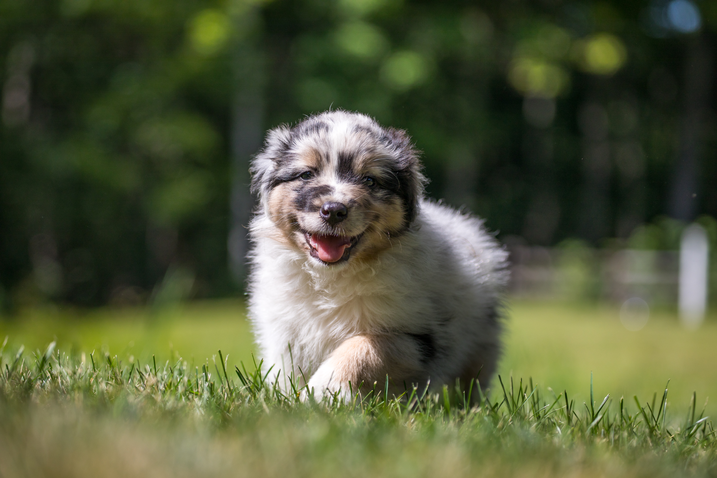 Olde Bay Aussies Australian Shepherd Puppies Suede.jpg