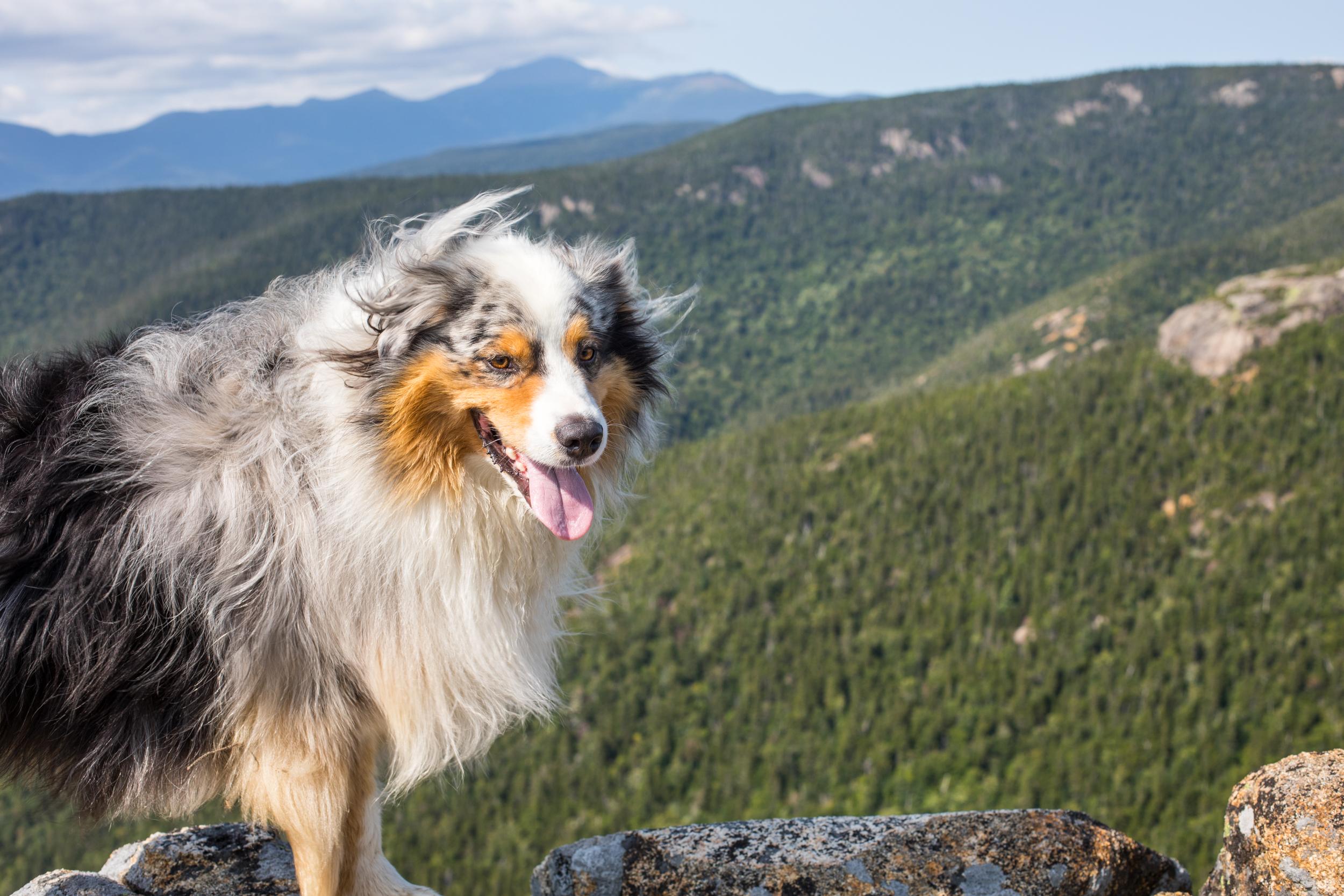 Squall Australian Shepherd Mount Crawford.jpg