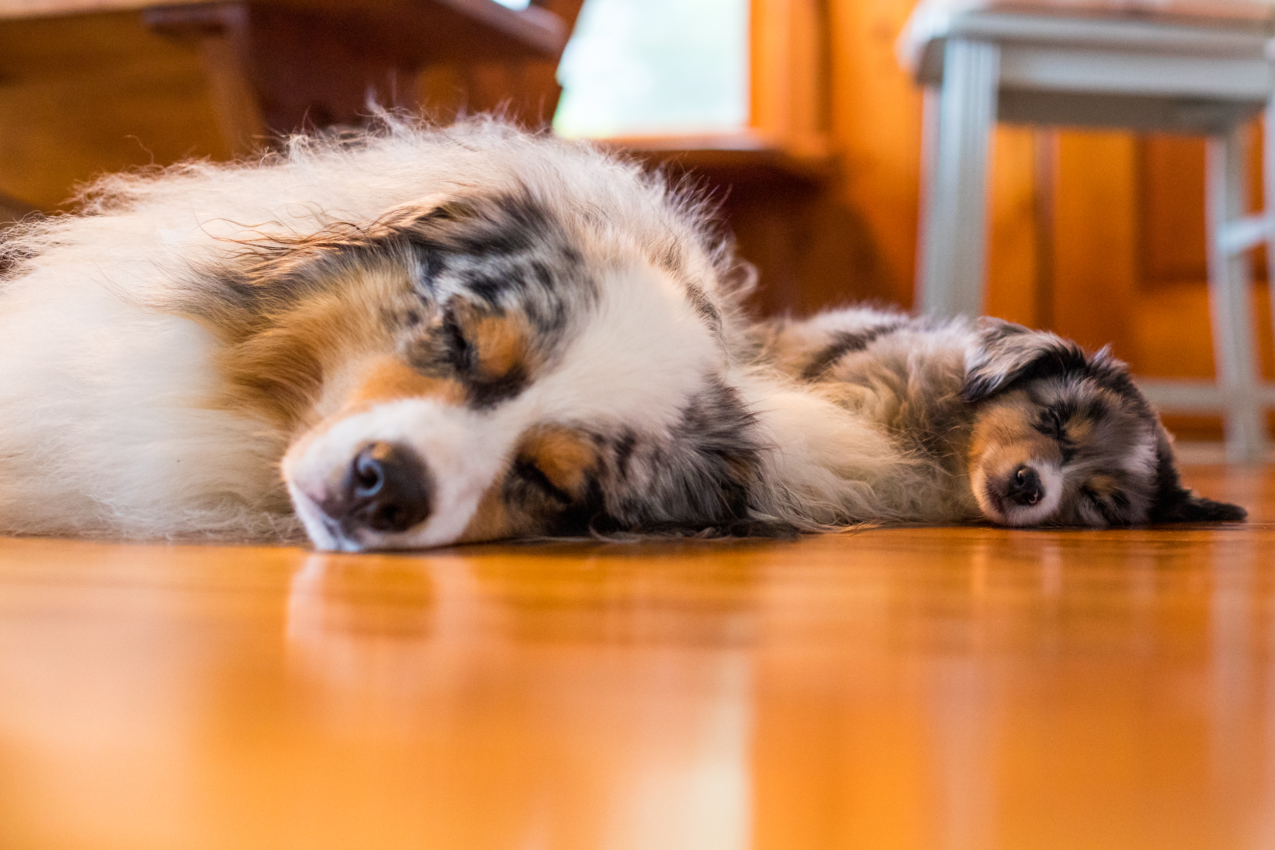 Squall and Tempest Australian Shepherds.jpg