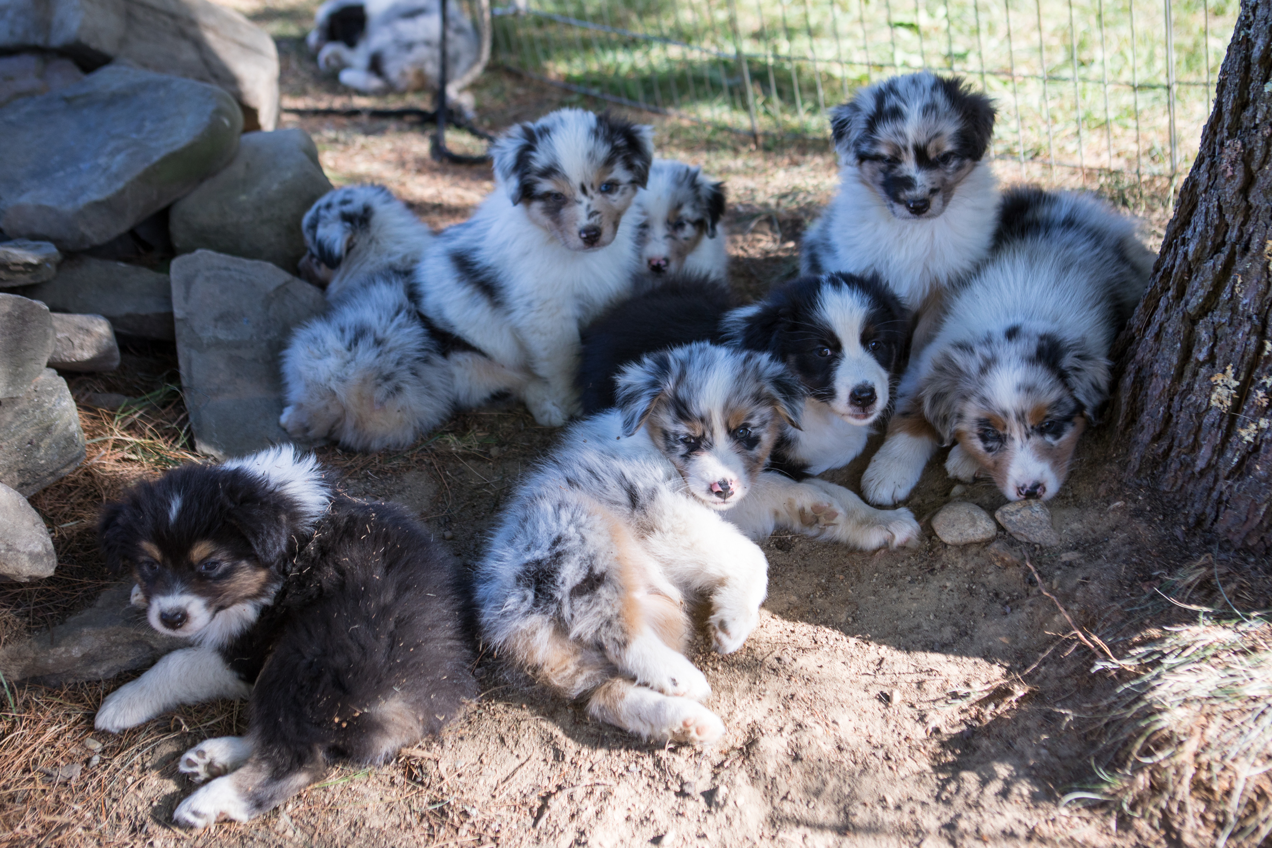 Olde Bay Aussies Australian Shepherd Puppies Litter.jpg
