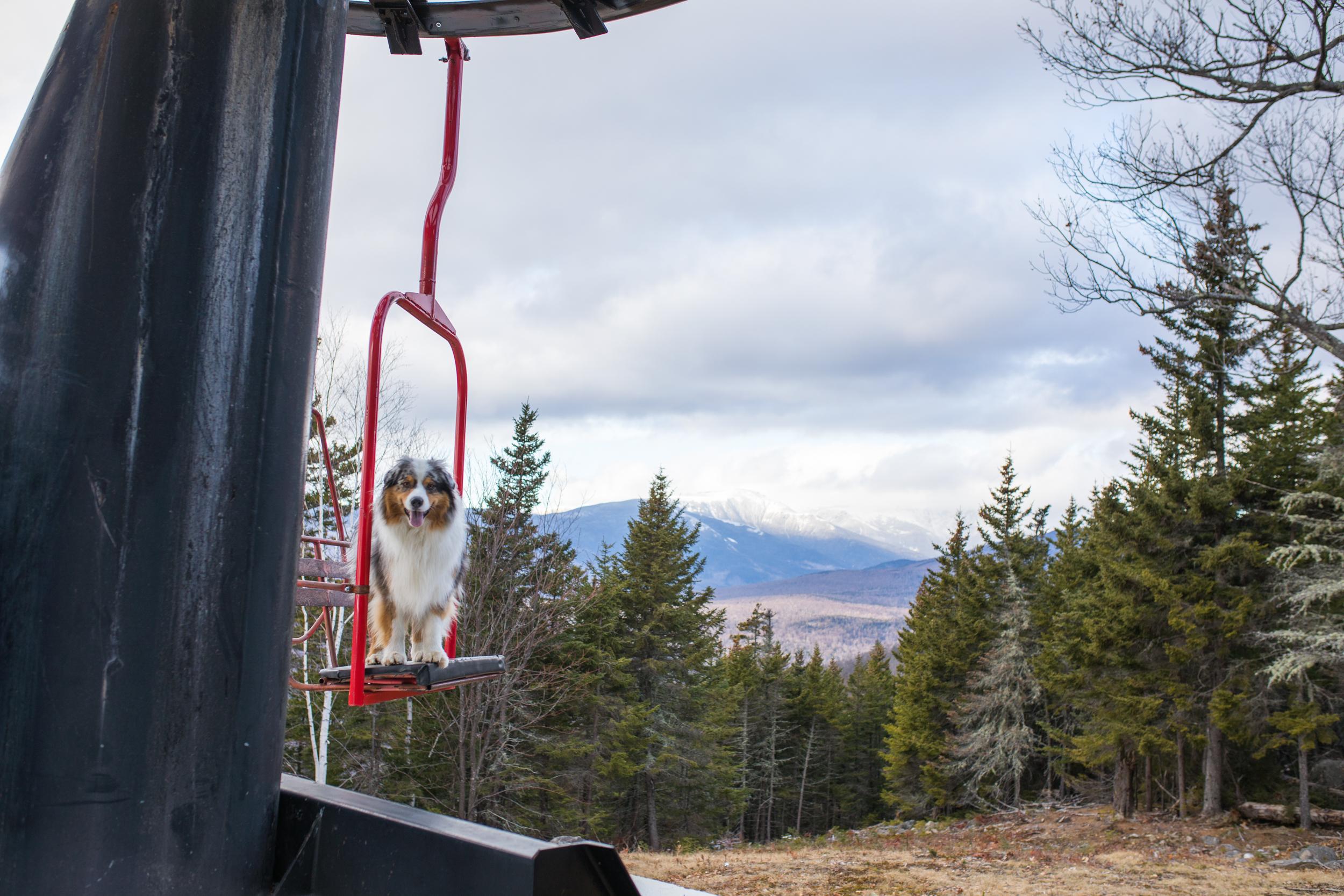 Squall Australian Shepherd Chairlift.jpg