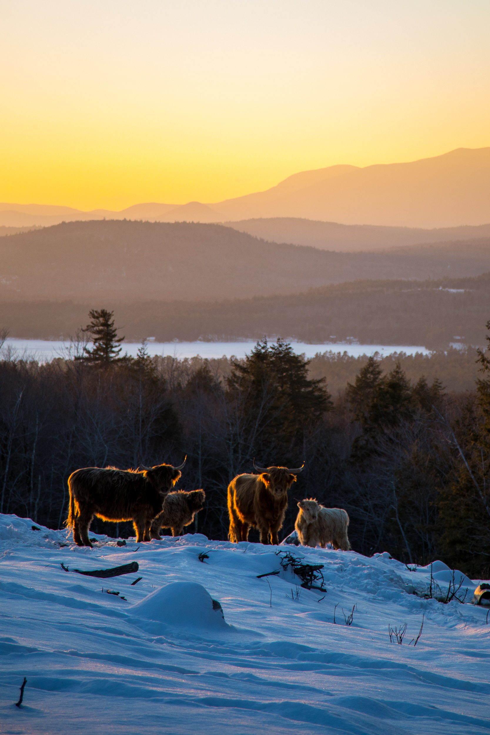 Scottish Highland Cows NH.jpg