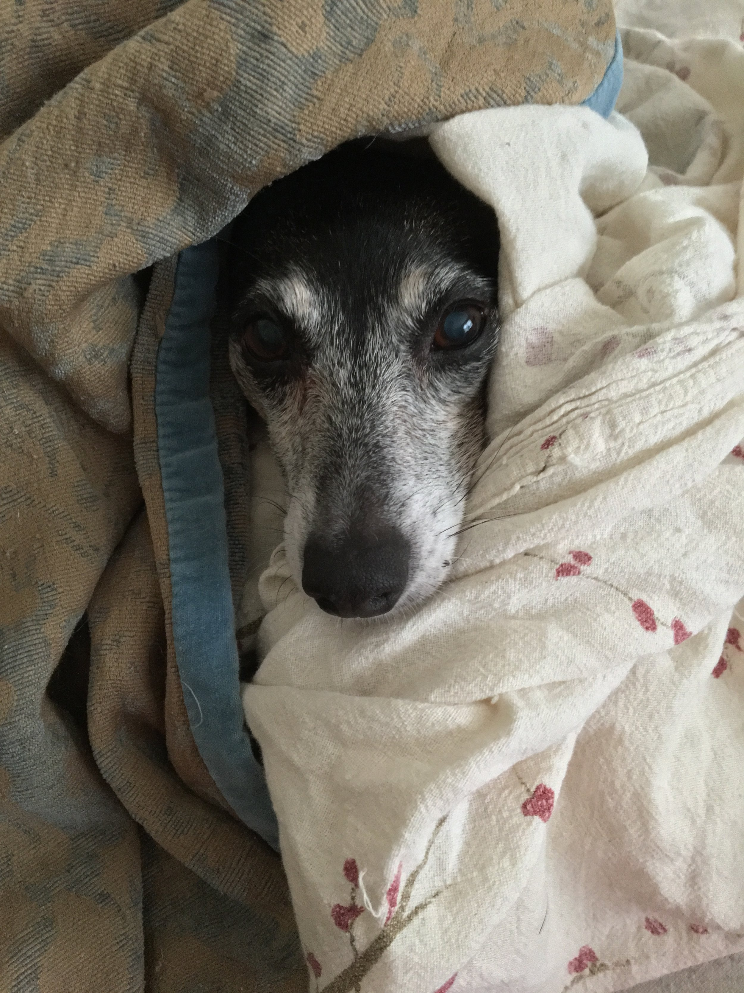 """Goldie the Rat Terrier. This is her """"Grey Gardens"""" impression."""