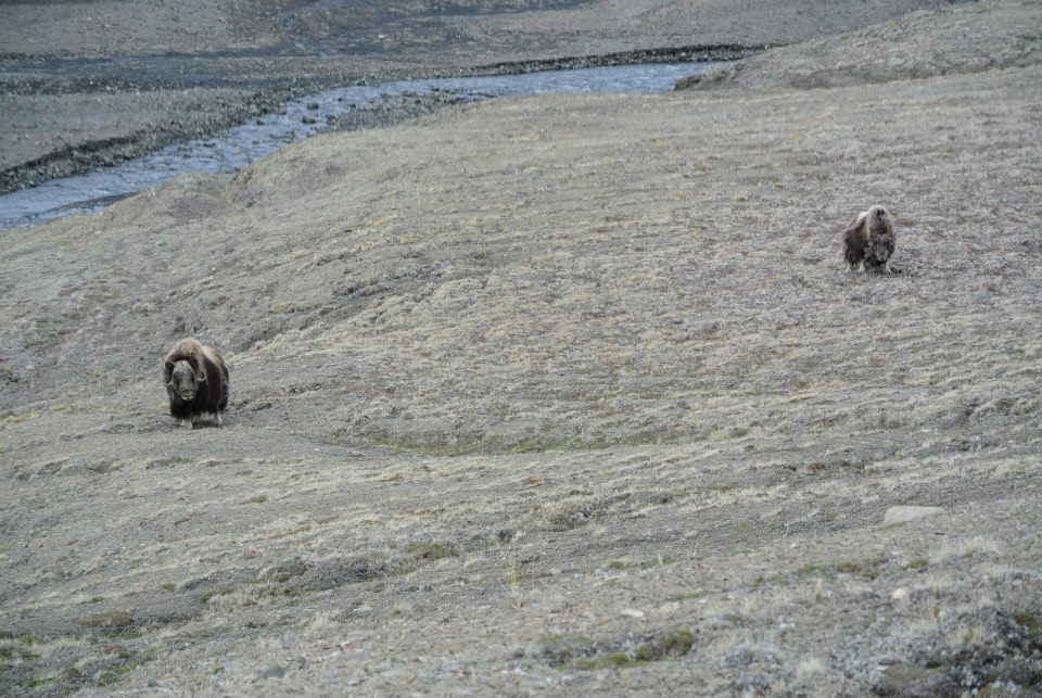Camp visitors. Musk oxen.