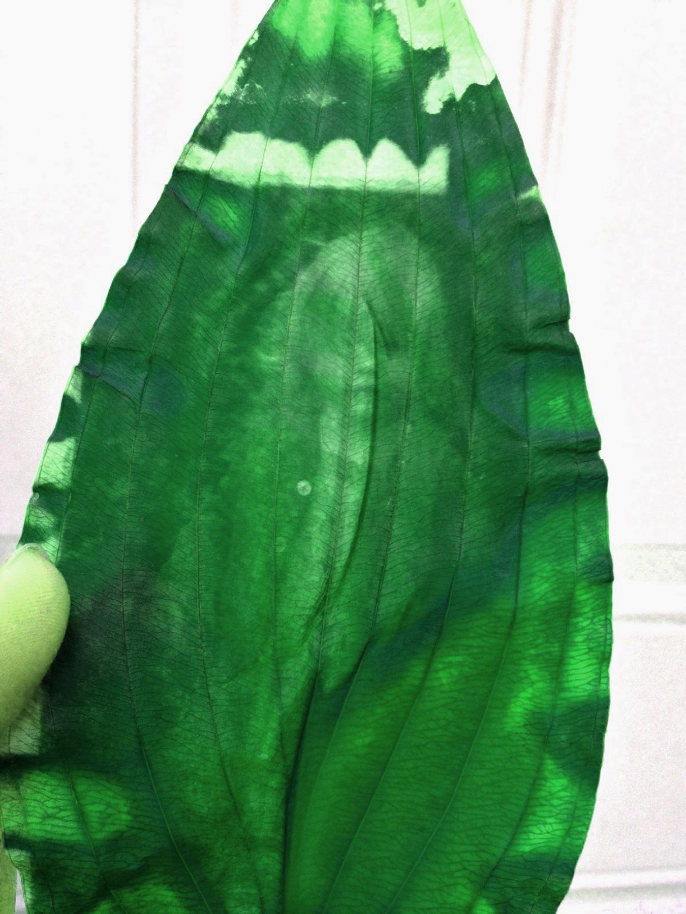 chlorophyll_ivy.jpg