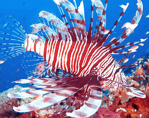 Caribbeanlionfish3.jpg