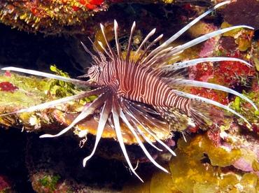 Caribbeanlionfish2.jpg