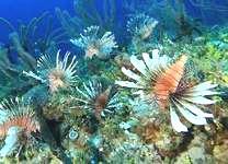 seven lionfish about 150 feet underwater