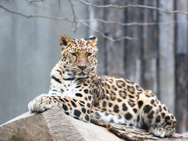amur-leopard_99144569.jpg