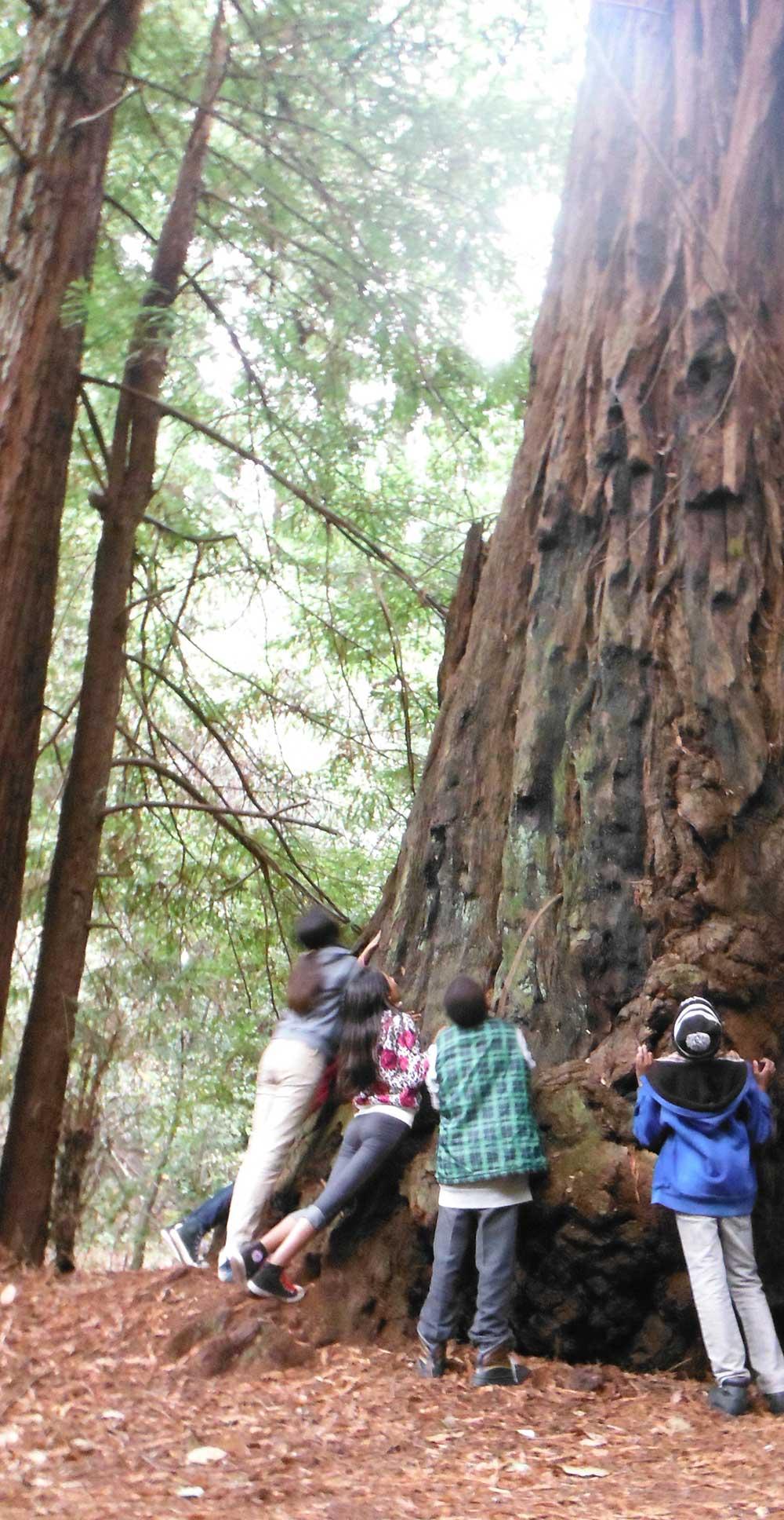 cropped-redwood-tree.jpg