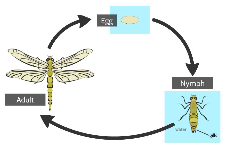 dragonfly life cycle.JPG