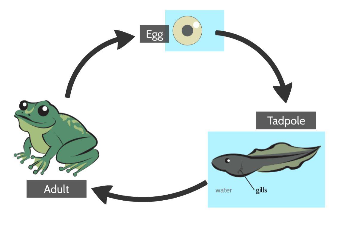 frog life cycle.JPG
