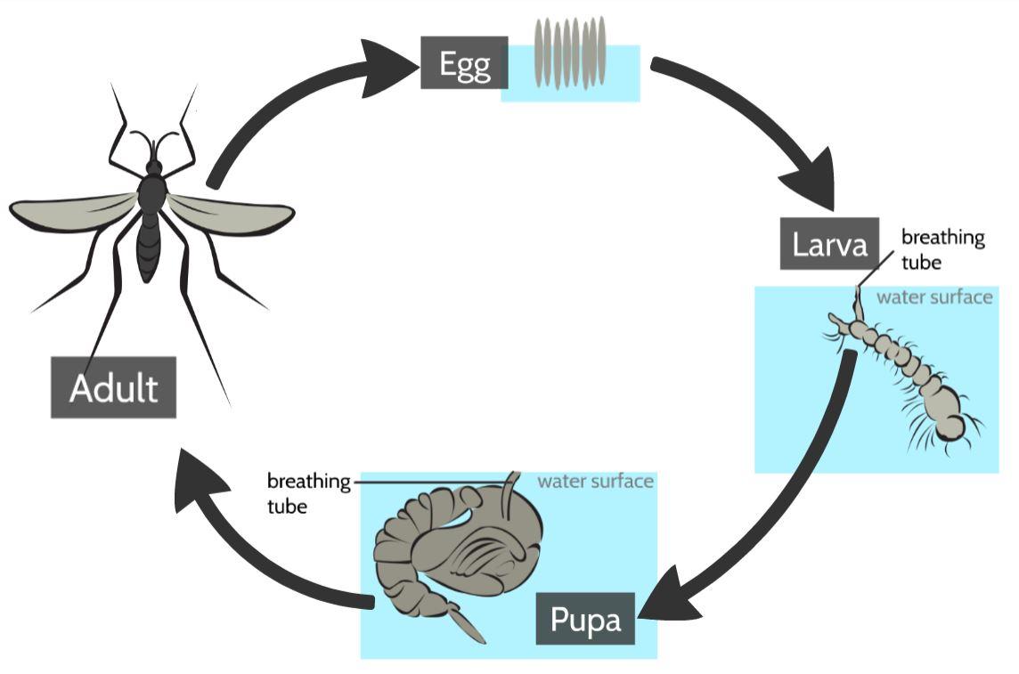 mosquito life cycle.JPG